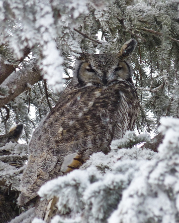 A Great Horned Owl shelters in a spruce tree.