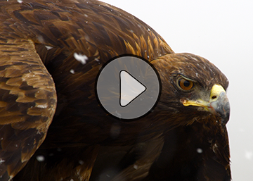 Video: Golden Eagle flying through snow in Wyoming