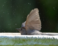 Gray Catbird in a birdbath