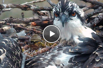 Hellgate's Osprey nestlings are almost ready to fledge!