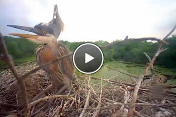 Highlights of 2013 Great Blue Heron nesting season