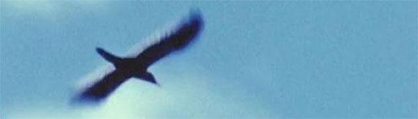 Imperial Woodpecker in flight