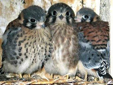 Three American Kestrel nestlings