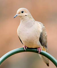 Mourning Dove at a feeder