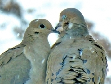 Mourning Doves in the snow