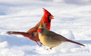 A pair of Northern Cardinals in snow