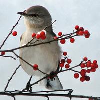 Northern Mockingbird and Common Winterberry