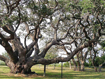 Old-growth Coastal Live Oak (Quercus virginiana)