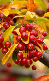 Red Chokeberry in autumn.