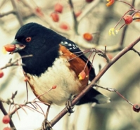 Spotted Towhee eating crab apples