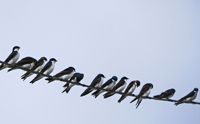 Tree Swallows stick together