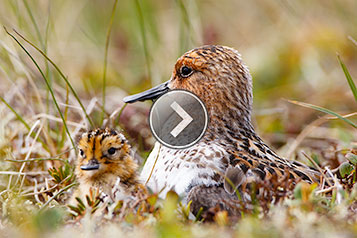 Watch this video of Spoon-billed Sandpiper chicks hatching