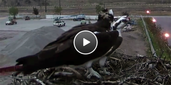 Stan and Iris Perch Together On the Nest For the Last Time in 2015