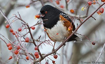 Spotted Towhee and native fruits by Simon Richards