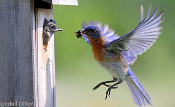 Eastern Bluebird feeding young at nest box