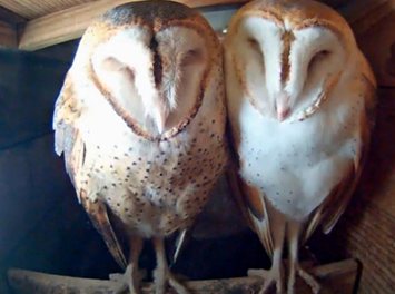 Barn Owls on newest livestreaming Bird Cams offering
