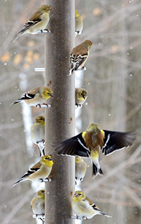 American Goldfinches by Ewa Mutzenmore, Michigan, 2016 GBBC.