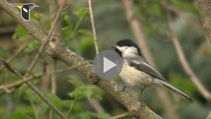 video about chickadee basics
