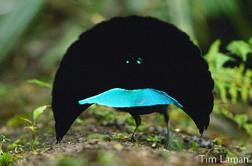 Superb Bird-of-Paradise