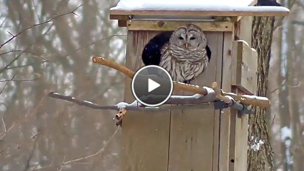 Watch the WBU Barred Owl cam