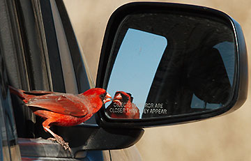 Northern Cardinal challenging reflection in car mirror