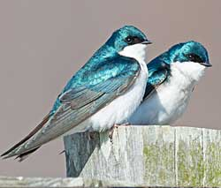 Tree Swallows by Brian Kushner