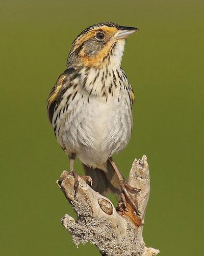 Saltmarsh Sparrow by Ryan Schain/Macaulay Library
