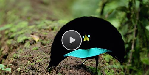 Vogelkop Bird-of-Paradise