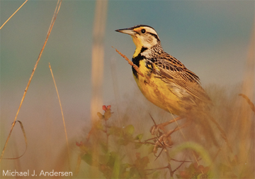 Eastern Meadowlarks depend on private land for much of their habitat, according to the State of the Birds report.