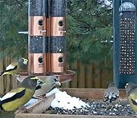 Evening Grosbeaks visiting the Ontario FeederWatch cam
