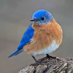 Eastern Bluebird by Gary Mueller
