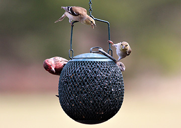 House Finch and American Goldfinches on feeder