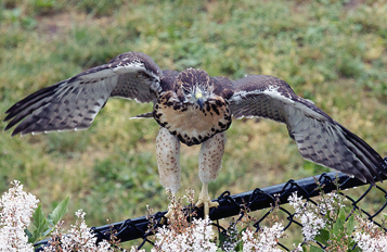 The second Red-tailed Hawk fledgling finds a perch on a nearby fence.
