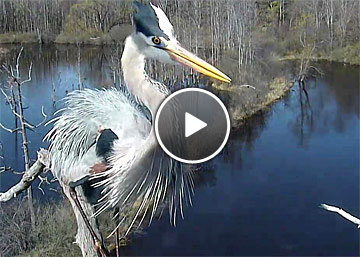 amazing close-up video of two Great Blue Herons at nest
