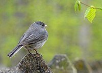The ordinary extraordinary junco has a lot to teach us about science.