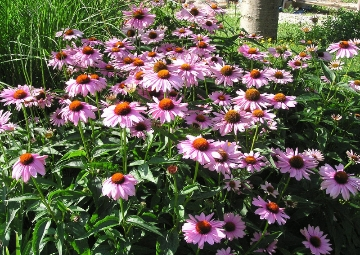 Purple coneflowers, close-up