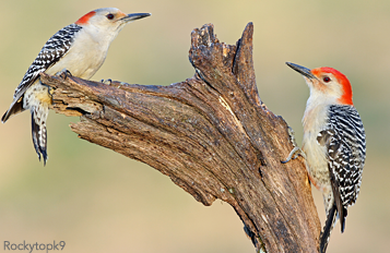 Red-bellied Woodpeckers were more numerous after an emerald ash borer invasion.