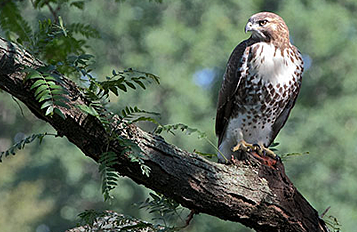 """Red-tailed Hawk fledgling """"D3"""" in early August. Photo by Christine Bogdanowicz."""