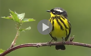 Magnolia Warbler, part of warbler-identification video