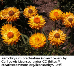 photo of strawflowers