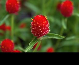 photo of globe amaranth (gomphrena)