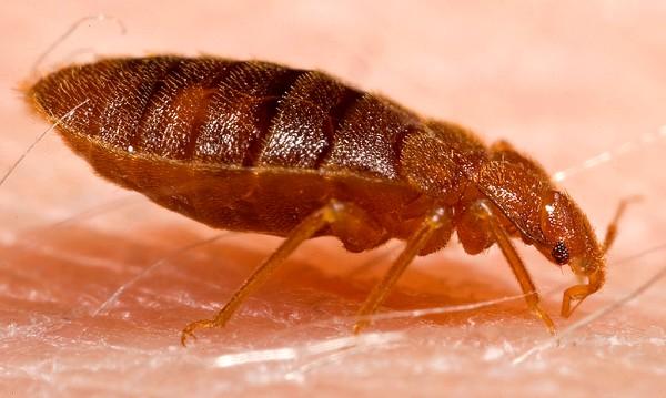 bedbug feeding on human skin