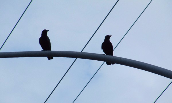 two crows perched on a streetlamp