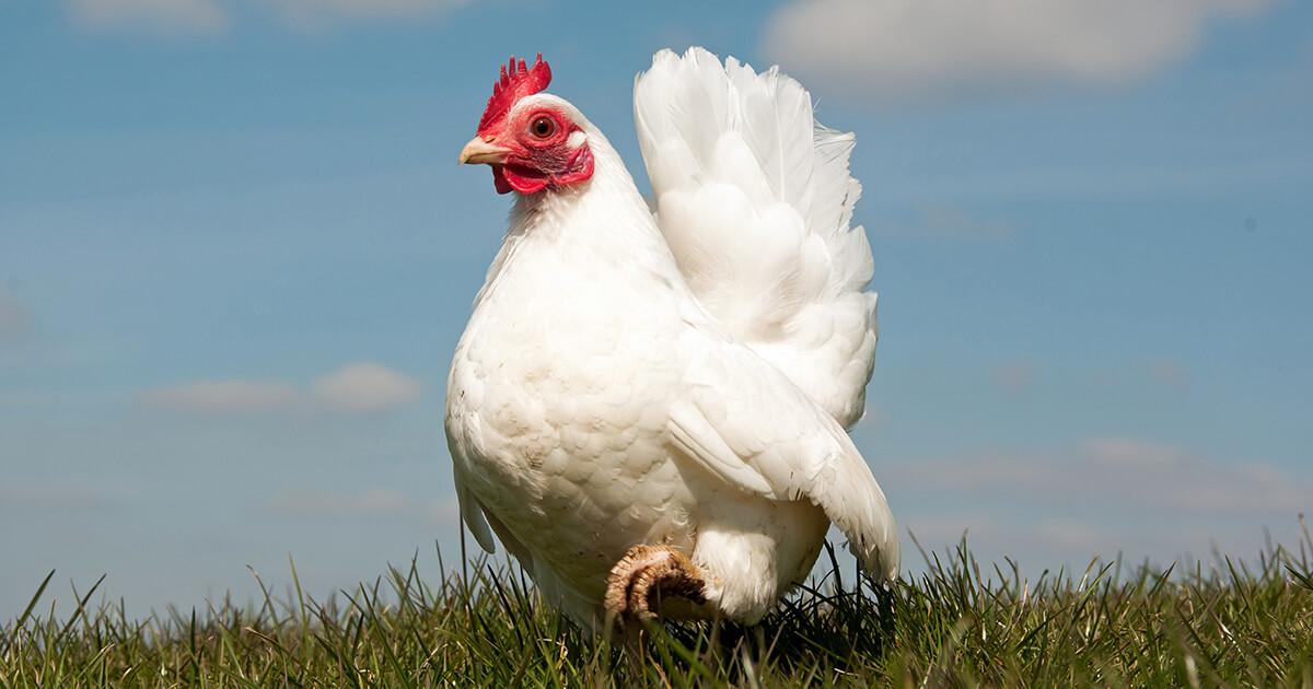 Photo of white chicken in field under blue skies