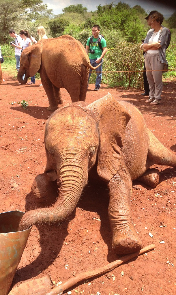 Elephant orphan at the David Sheldrick Wildlife Trust, Nairobi
