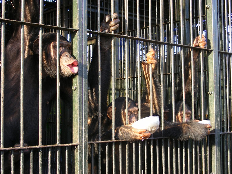 Feeding time at Ngamba Island Chimp Sanctuary