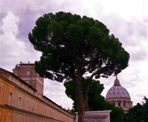 Umbrella tree by the Vatican