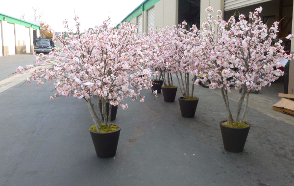 6 foot tall Cherry Blossom trees for Union Bank