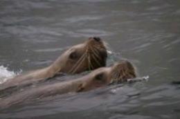 Steller's Sea Lions Sea of Okhotsk