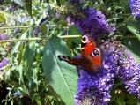 Peacock butterfly on buddleja flower
